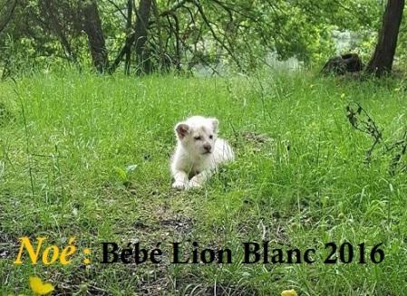 noe_bebe_lion_blanc_ne_au_printemps_2016-2-f0ced